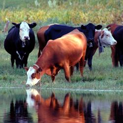 NOAH Dairy Cow Hoof Treatments