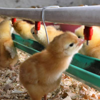 Chicken Feeding Systems